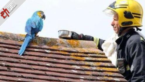 """鹦鹉出走三天主人求助 面对消防员的""""我爱你""""鹦鹉竟回""""滚开"""""""