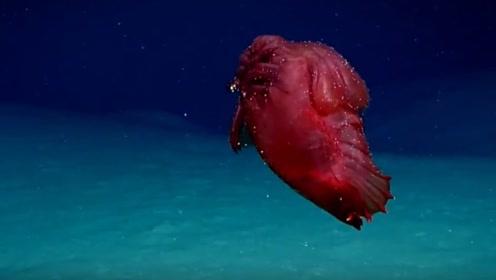 """南大洋现深海怪物?外媒:澳科研人员拍摄到""""无头鸡怪"""""""