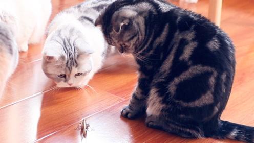 当一只蚂蚱误入八猫家庭,怕是有去无回