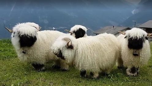 草地上的玩具绵羊突然转身 原来它们是活的!