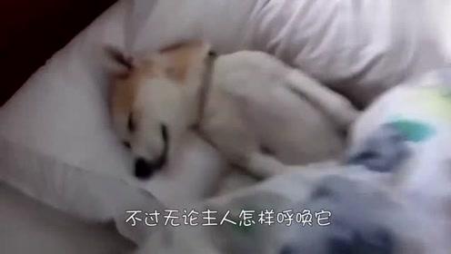 你永远也叫不醒一条装睡的狗,宠主的这一招太牛了,狗狗绷不住了