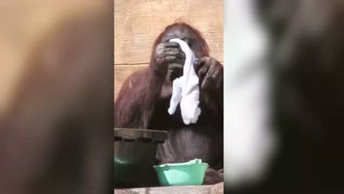 """这是一支有严重""""洁癖""""的黑猩猩,用的毛巾比我老公的还白!"""