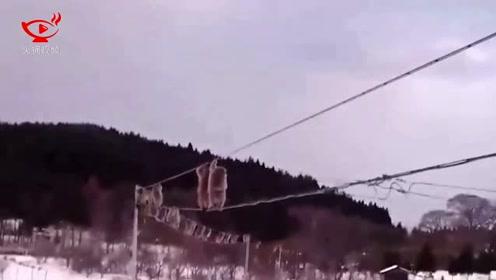 画面喜感!日本猕猴集体走电线 或为防止偷菜被抓