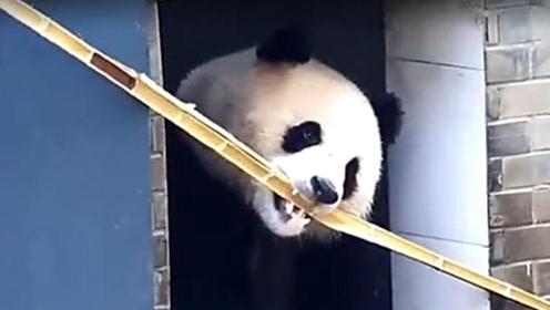 高智商圆滚滚上演三部曲 叼竹子进熊猫窝