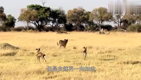 羚羊宝宝即将出生,却遭遇野狗袭击,镜头拍下全过程