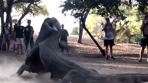 罕见!两只近200斤巨蜥激烈打斗 场面如科幻电影