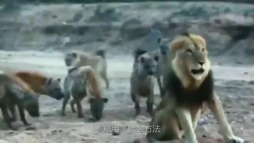 鬣狗叼着狮子头炫耀,狮子竟被鬣狗群分尸,草原霸主颜面何在?