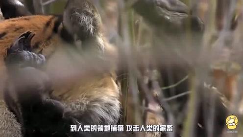 牛看见明晃晃的老虎,竟然仰头顶了上去,这下吃不了兜着走了!