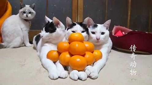 三只猫总喜欢粘在一起,主人突发奇想,这太可爱了吧!