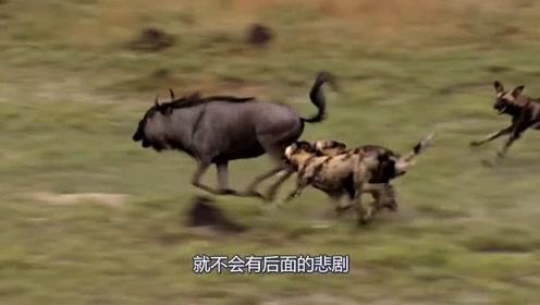 野狗追捕角马,场面堪比大片,网友:这队友太坑
