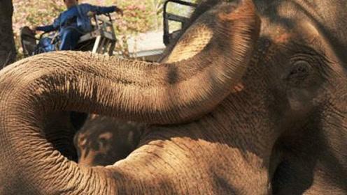 大象被乌龟挡道,接下来的场景十分感人