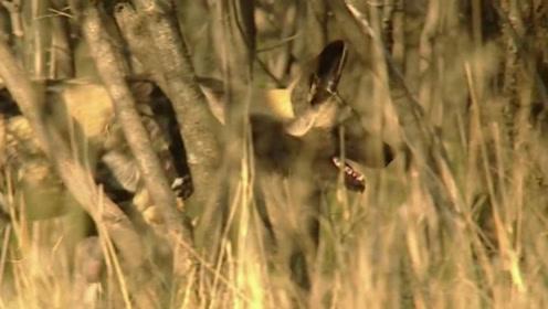 野狗们在草原上觅食,它们张着嘴寻觅,模样十分凶狠!