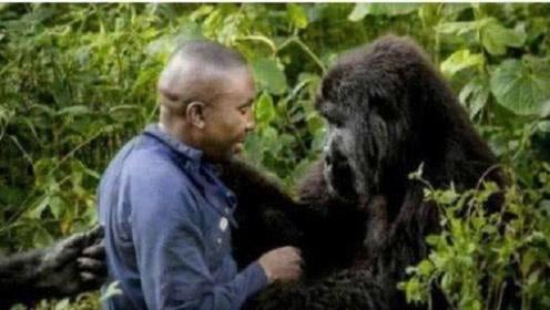 猩猩和人类能生育后代?专家亲身验证,答案让人惊讶