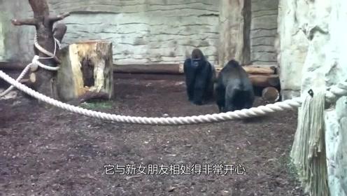 公猩猩单身20年后终于脱单,根本停不下来,游客纷纷绕道而行!