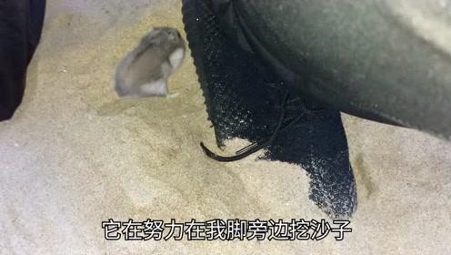 海边仓鼠在主人脚旁边卖力挖沙子!