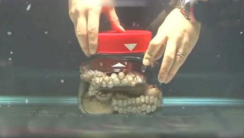 章鱼在密闭的瓶子也可以成功逃生 过程真是让人惊叹