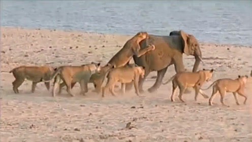 一群狮子捕食,盯上一头落单的小象,结果狮子惨了