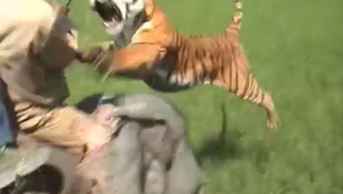 野外老虎扑到大象脑袋上,把人手臂咬断,镜头记下惊险一幕