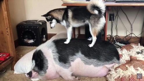 猪霸占了哈士奇的爱心小窝,为了叫醒这只猪,二哈简直拼了老命!