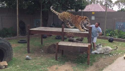 饲养员拿着奶瓶不给老虎喝,结果老虎发怒,意外就这样发生了
