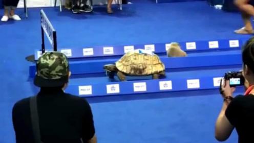 现实版龟兔赛跑,兔子再一次发懵,乌龟稳稳当当的赢了