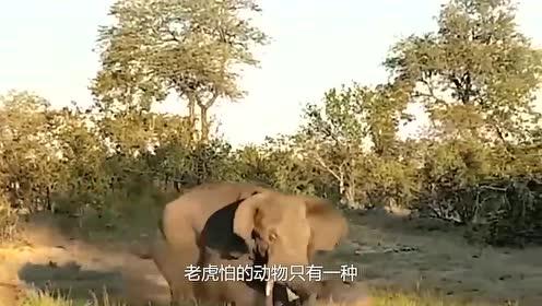 老虎最怕什么动物?大象犀牛熊都不怕,除了它