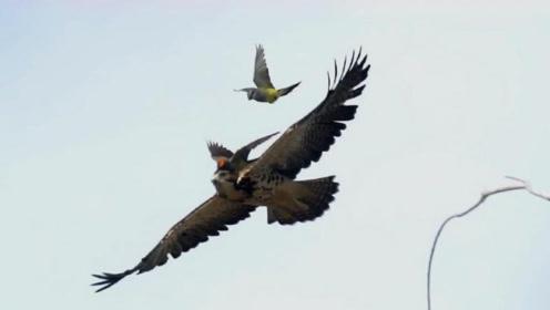都知道老鹰是天空的霸主,那它的天敌又是谁?答案意想不到!