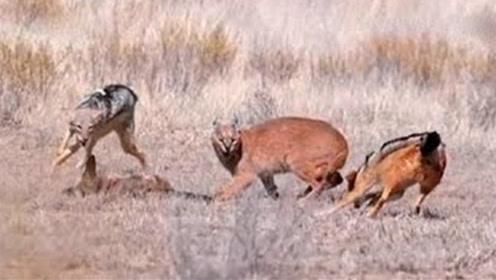 狞猫单挑三只野狼,咬死一只狼大摇大摆叼走,网友:太嚣张了