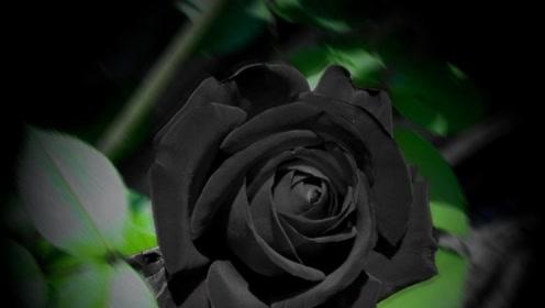 这座小镇开出罕见黑玫瑰 象征死亡却万元一朵