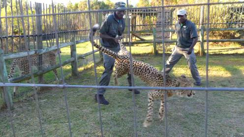 猎豹咬住饲养员的腿,被抓住豹腿狂抡720度,豹子直接成这样了
