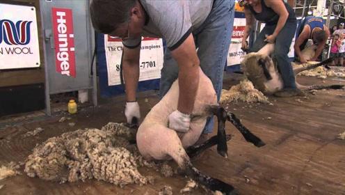 """国外剃羊毛比赛,羊都没反应过来,一身""""羊皮衣""""就没了!"""