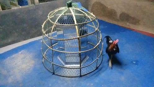 笼子里装块镜子,斗鸡见了疯了一样停不下来
