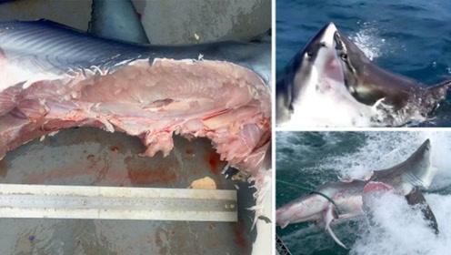 4米大白鲨被拦腰咬成两半 两条鲨鱼激战画面曝光