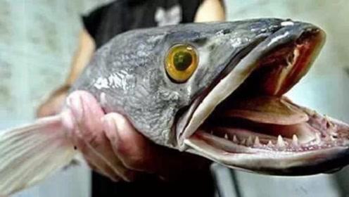 """生物入侵?我国广东多地出现""""蛇头鱼"""",专家:这是好事"""