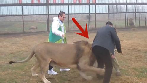 雄狮突然咬住游客的小腿,饲养员一巴掌拍过去,镜头记录惊险画面
