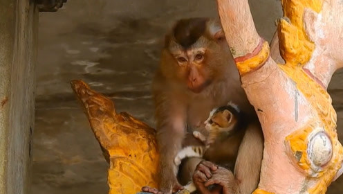 猴子失去孩子后精神失常,将猫咪当做自己孩子照顾,可怜了猫咪!