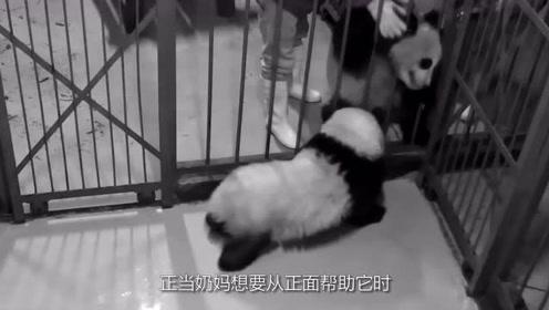 """熊猫滚滚""""越狱"""",不想这回真把头卡住了,只能向奶爸奶妈求救"""
