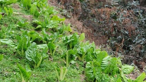 农村这种神奇有趣的蔬菜,越是掰它的长得越快,还是从外引进