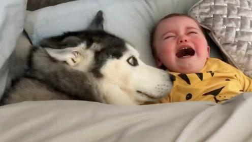 二哈趁宝宝不注意,偷偷钻进小主人的被窝,这画面爸妈都笑惨了!