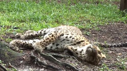 猛兽见到西瓜瞬间发狂?猎豹的举动让人意外,网友:这是个假野兽