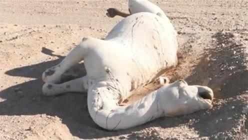 沙漠的骆驼渴死后,为什么离得远远的?下次可要记住了