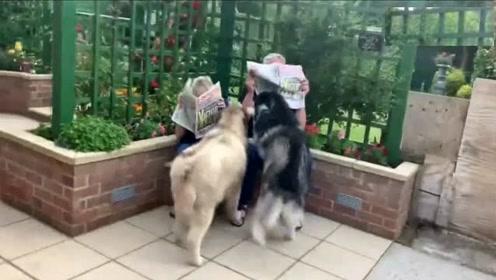 两只狗狗遛弯回家,看到许久未见的爷爷奶奶,狂奔过去求抱抱