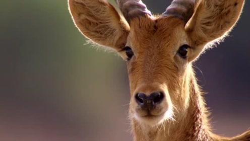 BBC纪录片《猎捕》精彩瞬间 —— 花豹 VS 黑斑羚