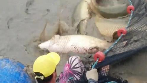 多年未捕捞的鱼塘,一网下去全是几十斤的大家伙