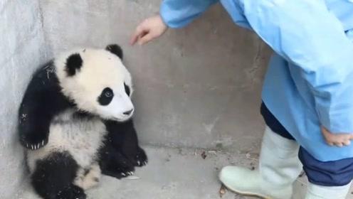 熊猫宝宝集体逃跑,突然一声大叫,场面让人笑喷