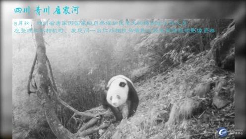唐家河保护区拍摄到大熊猫