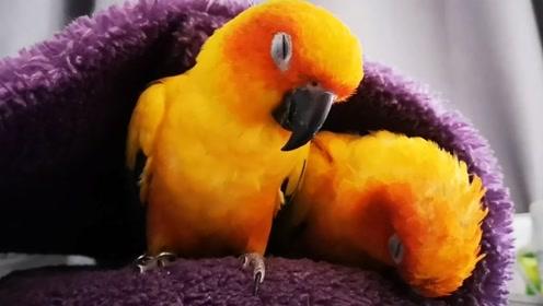 鹦鹉的内心是无奈的,睡个觉怎么就这么难,除了忍耐还能怎么办?