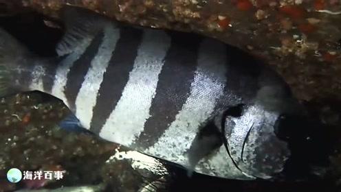 岛屿潜水,石鲷鱼正躲在石头缝里睡觉!