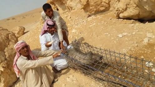 迪拜土豪挖陷阱抓鬣狗,用水猛灌洞穴,结果才一分钟就投降了