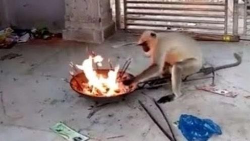 猴子第一次见到火,好奇心驱使伸手去抓炭,下一秒请忍住别笑